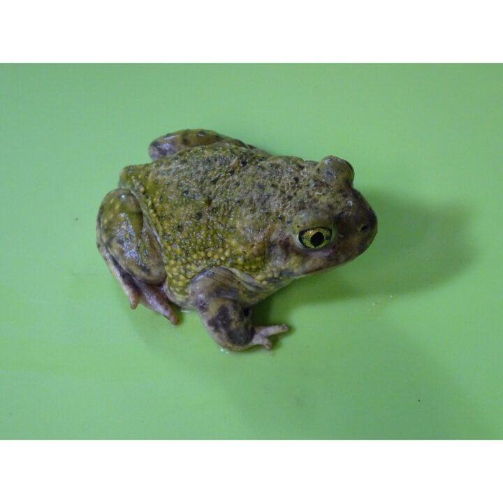 Couches Spade Foot Toad