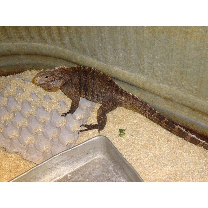 Cuban Rock Iguana adult