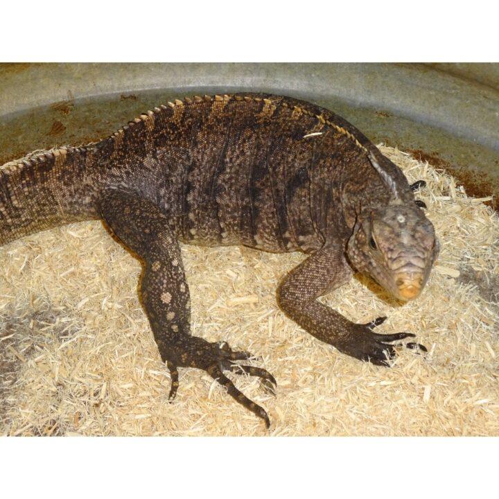 Cuban Rock Iguana adult face