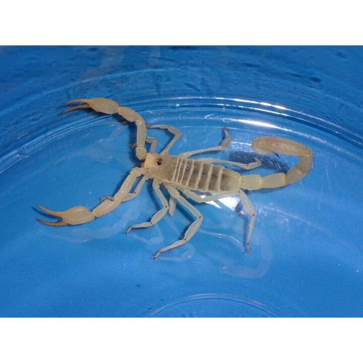 Dune Scorpion
