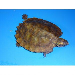 Malayan Flat Shell Turtle