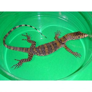 Sulfur Water Monitor baby on green