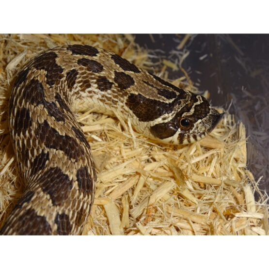 Western Hognose side face