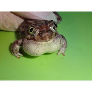 Western Spade Foot Toad croaking