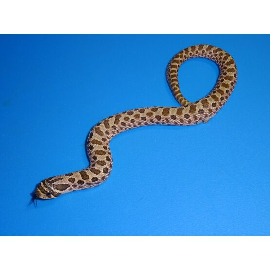 Artic Western Hognose baby