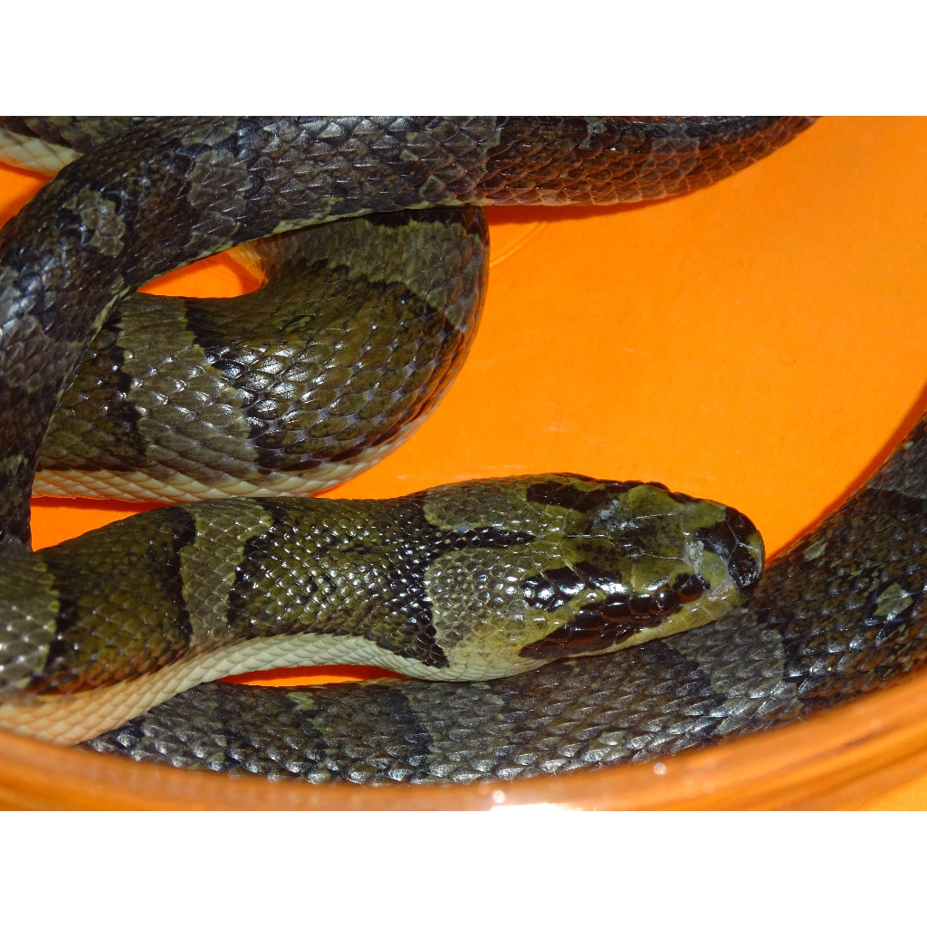 Swamp Snake Banded Baby Strictly Reptiles