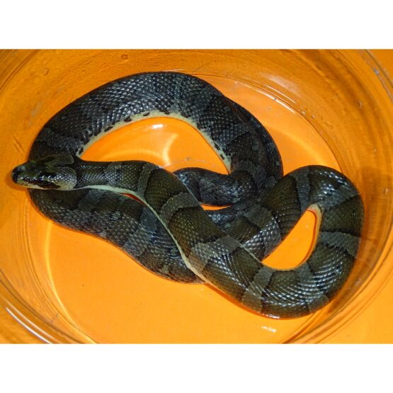 Banded Swamp Snake