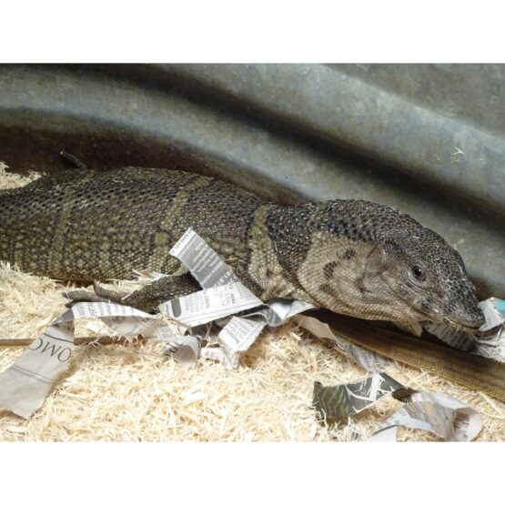 Brown Roughneck Monitor large face