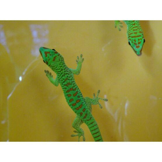 Crimson Giant Day Geckos face