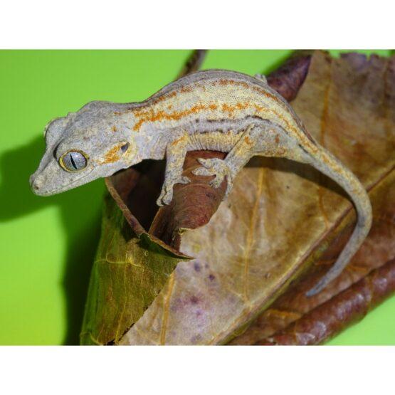 Gargoyle Gecko juvenile