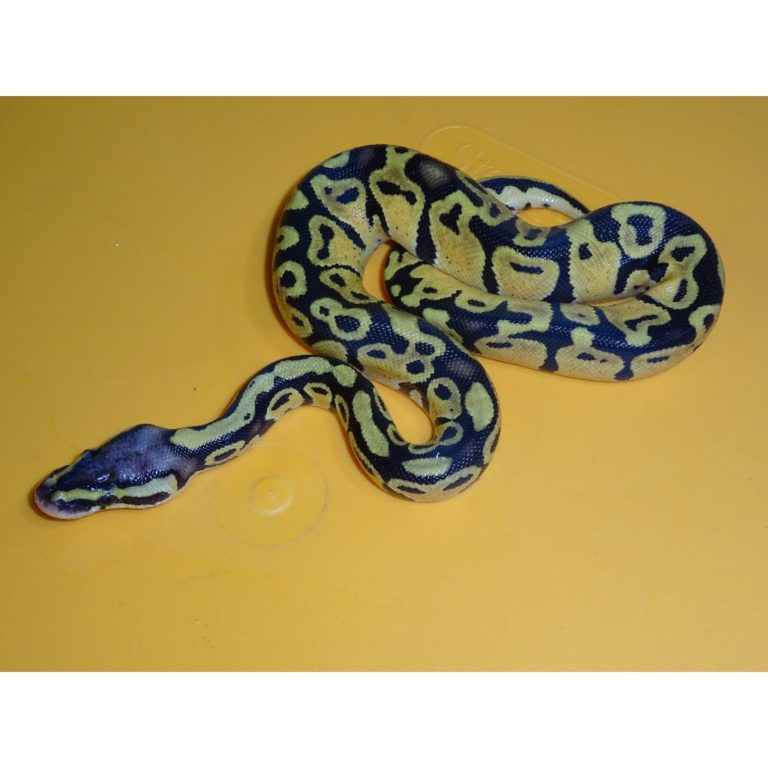 Pastel 70g male
