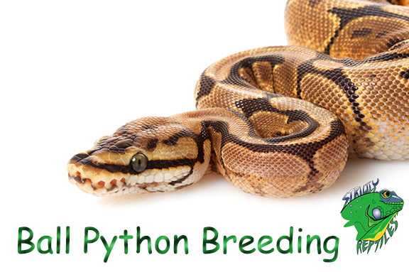 Snake Breeders Online Archives - Strictly Reptiles