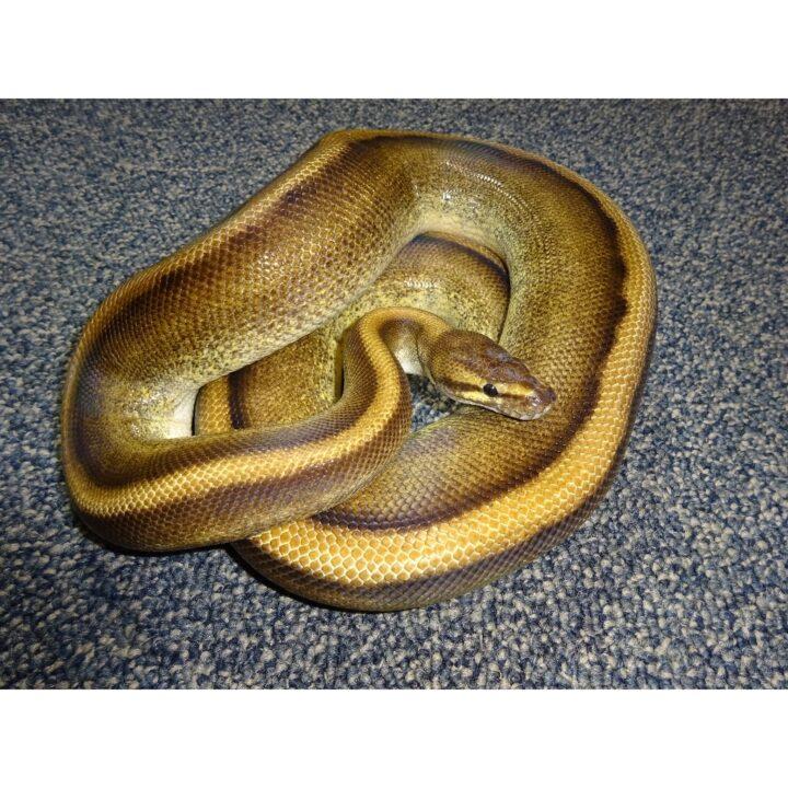 Genetic Stripe male 1600g