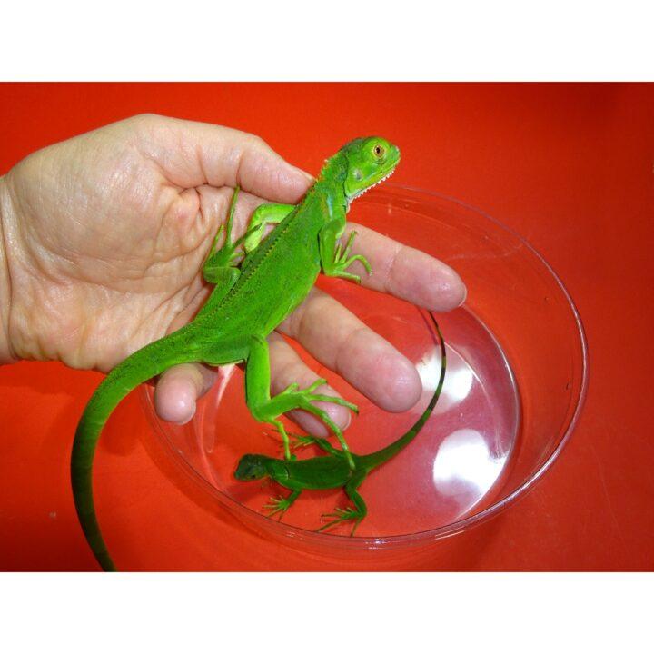 Green Iguana babies