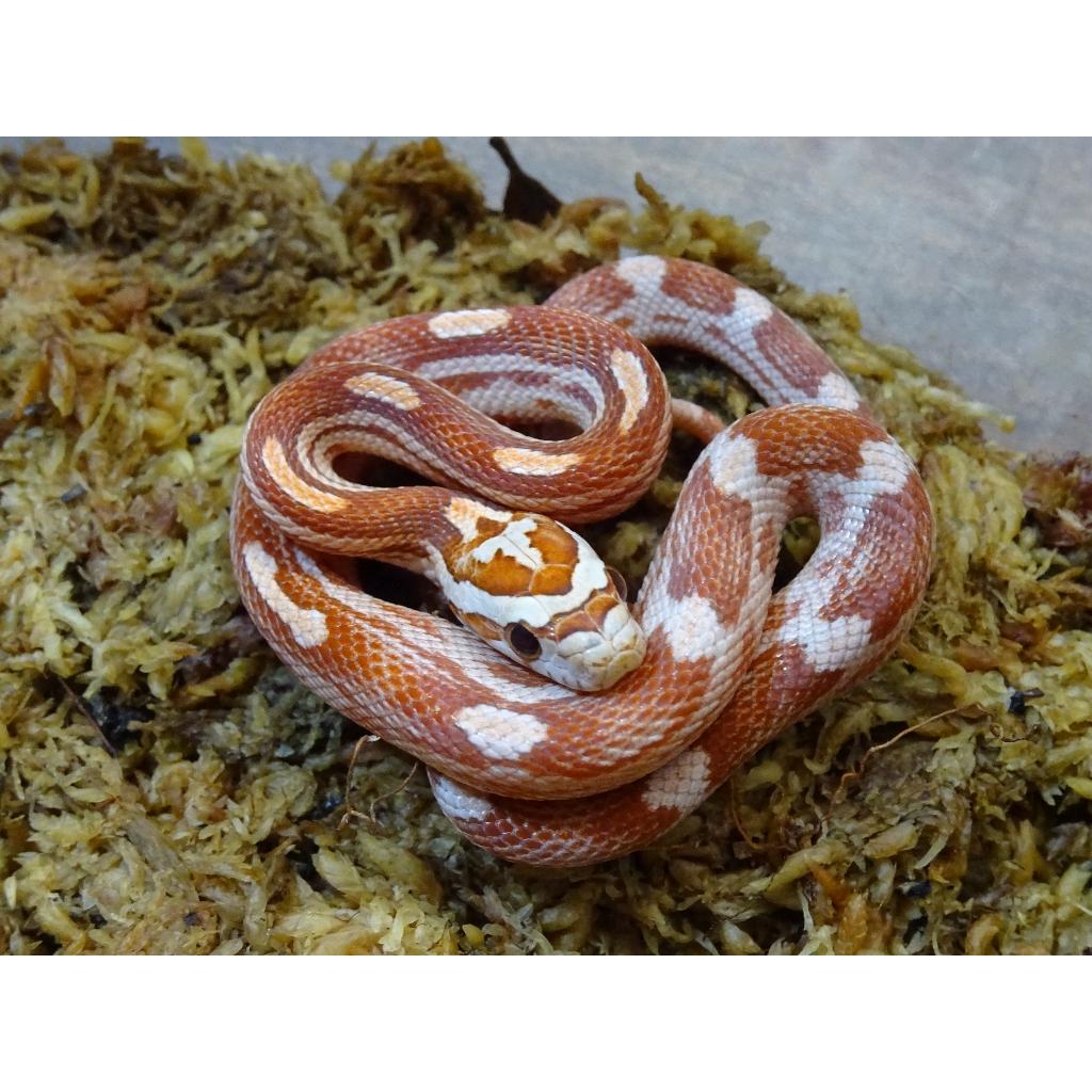 Wholesale Corn Snakes
