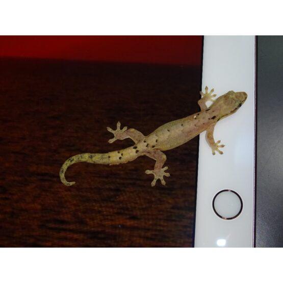 Morning Gecko