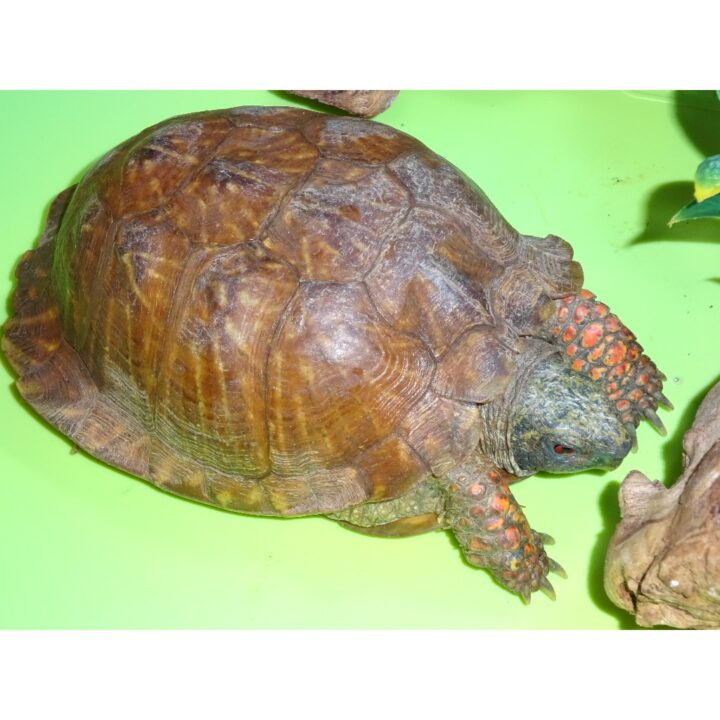 Ornate Box Turtle legs out