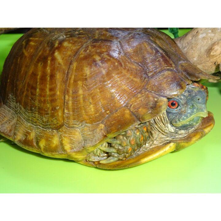 Ornate Box Turtle adult