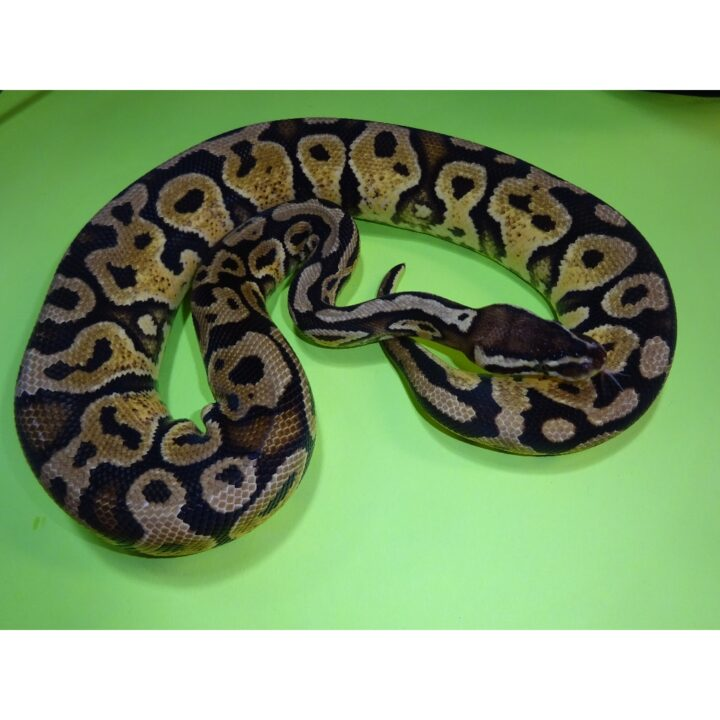 Pastel Yellow Bellied female 450g