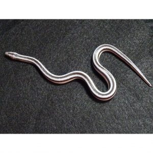 Anery Magdelena female 15g