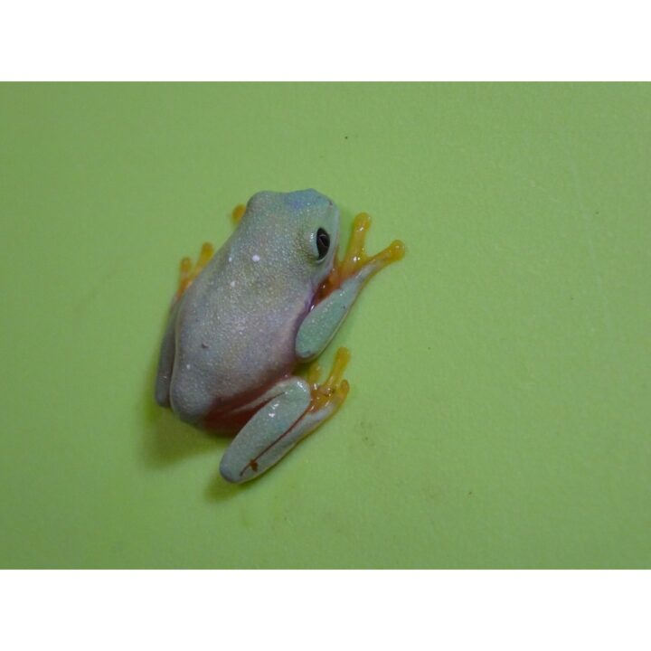 Black Eyed Tree Frog baby