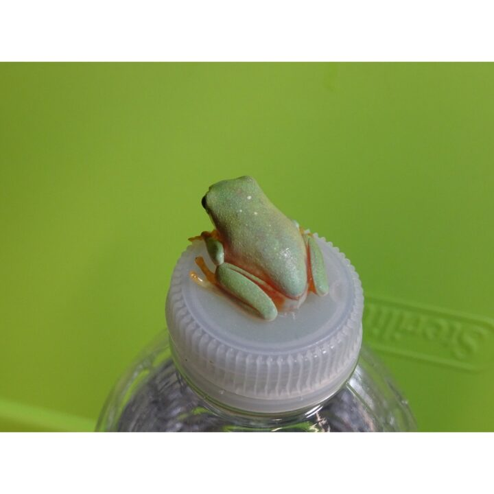 Black Eyed Tree Frog back veiw