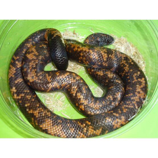 Calabar Python