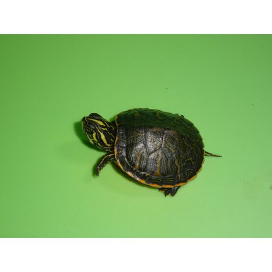 Florida Red Bellied Cooter baby top side