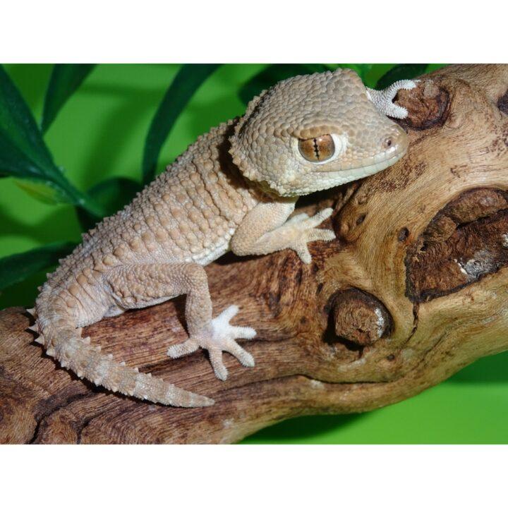 Helmeted Gecko adult male