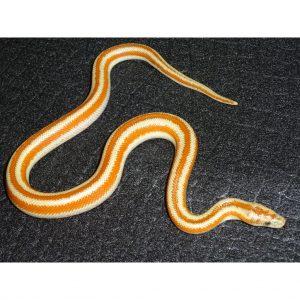 LA Bay male 15g