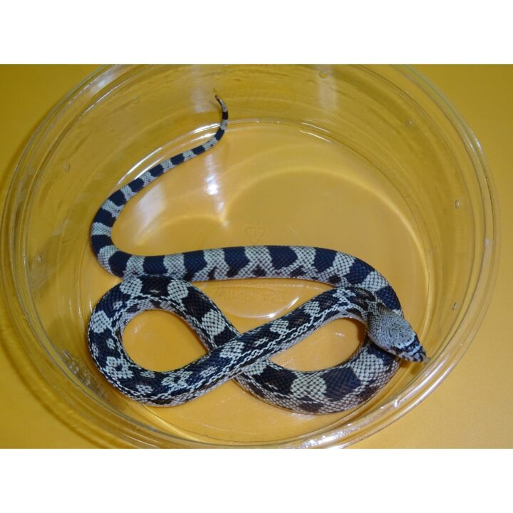 Northern Pine Snake baby