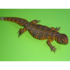 Red Niger Uromastyx