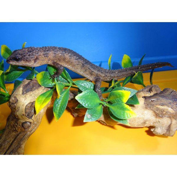Sulawesi Crocodile Skink adult