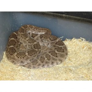 Western Diamond Back juvenile
