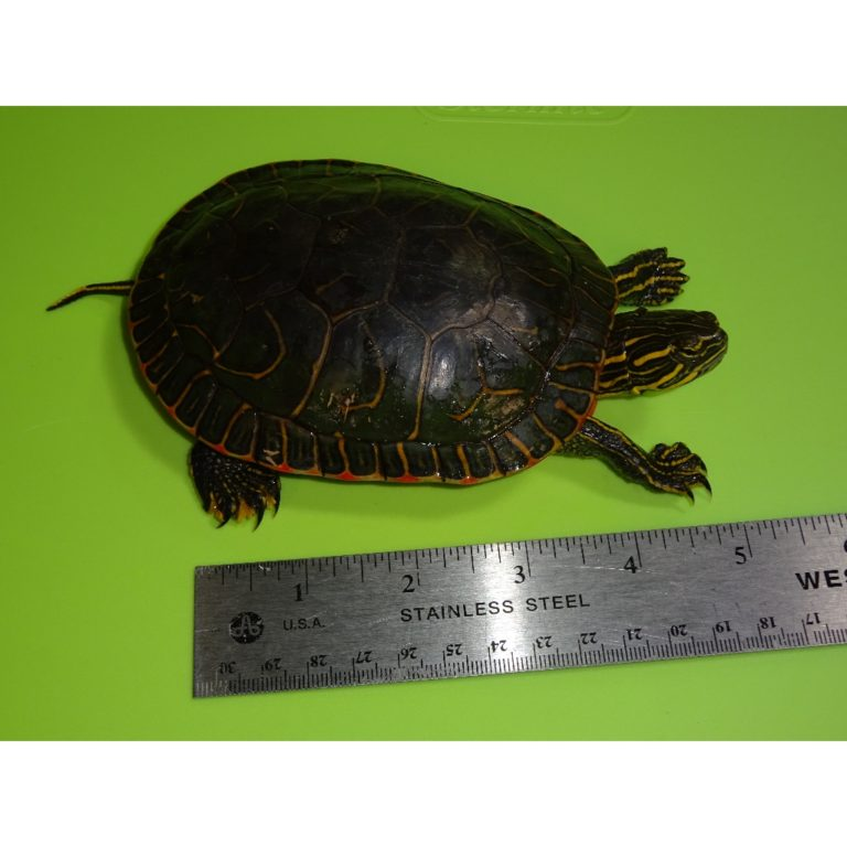 Western Painted Turtle 4 - 5 inch