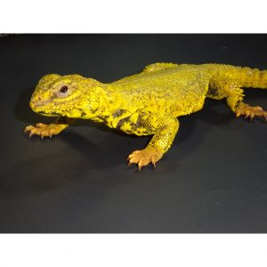 Yellow Niger Hey buddy