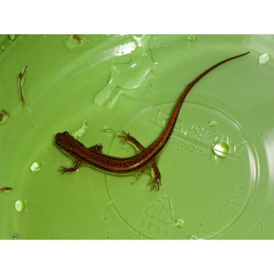 2 lined Salamander