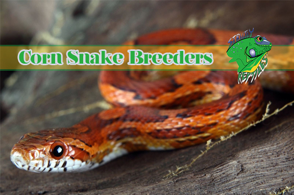 Corn Snake Breeders - Strictly Reptiles - Exotic Snakes & Reptiles