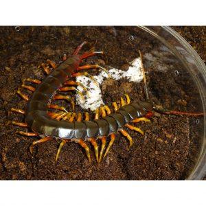 Darwin's Goliath Centipede side