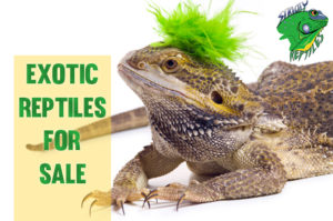 Bearded Dragon Breeder - Strictly Reptiles - Exotic Pets