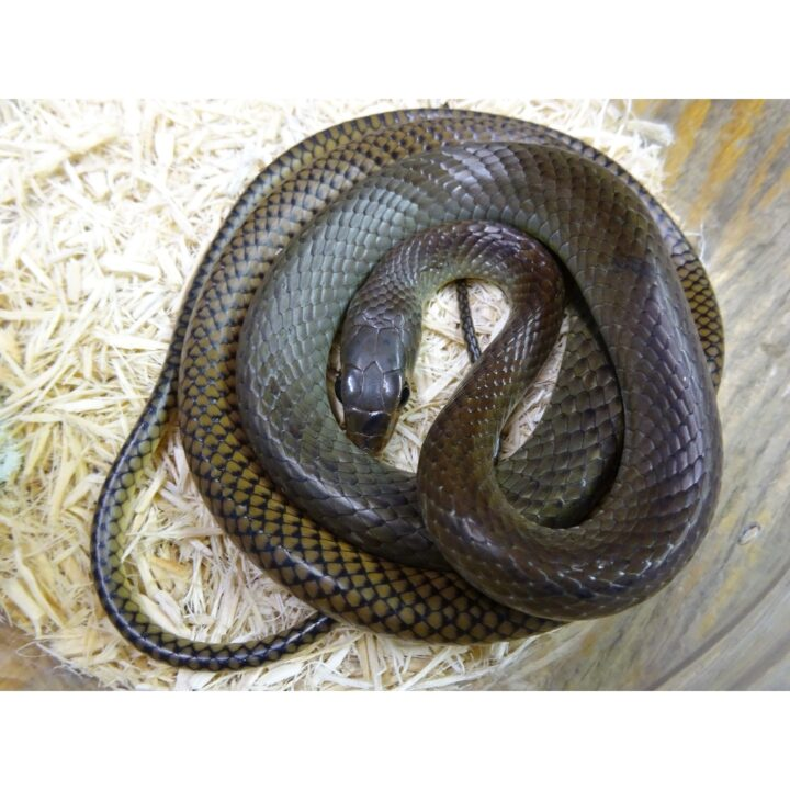 Giant Asian Rat Snake