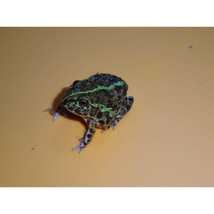 Giant Pixie Frog baby