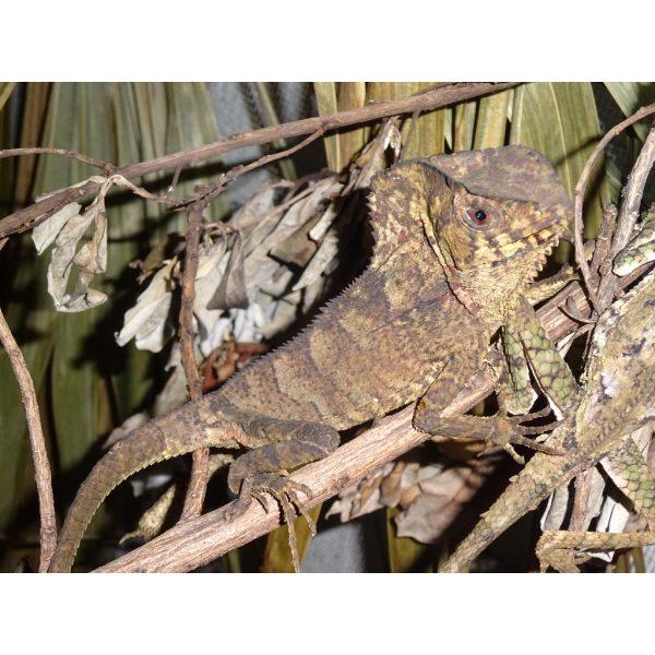 Helmet Iguana