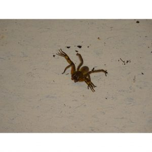 Wandering Spider loose on floor BEWARE