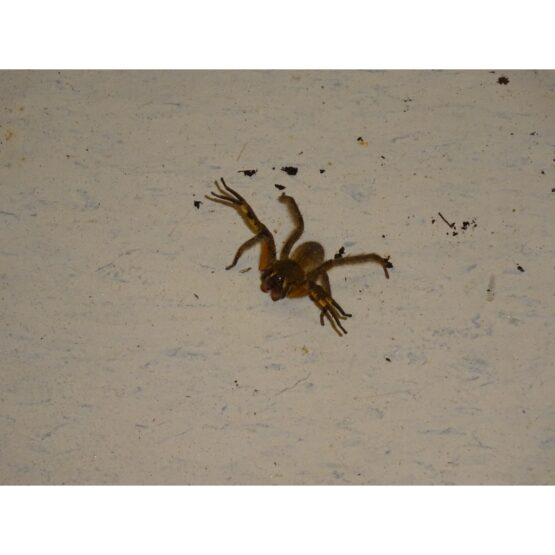 Wandering Spider loose on floor BEWARE
