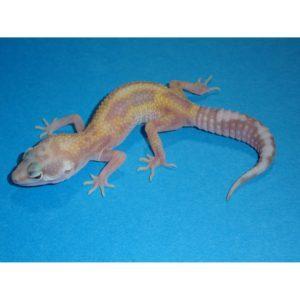 Aptor-Leopard-Gecko-juvenile