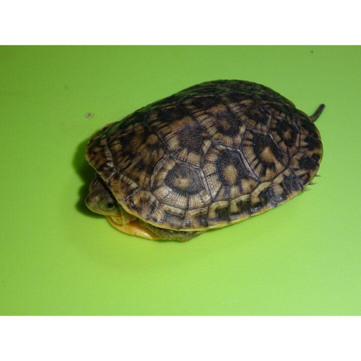 Blanding Turtle baby