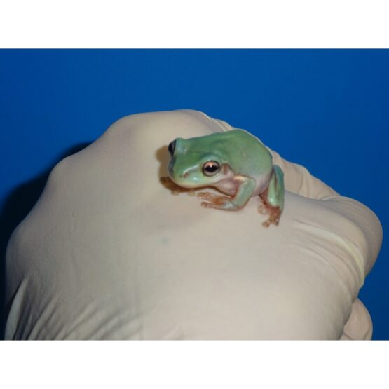 Blue Dumpy Frog baby