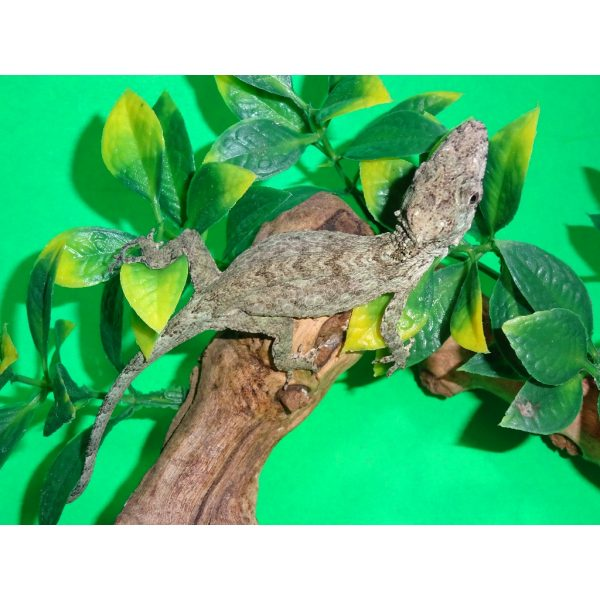 Cuban False Chameleon sees behind