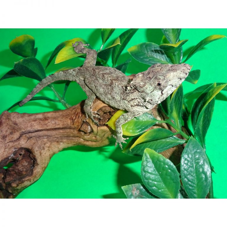 Cuban False Chameleon